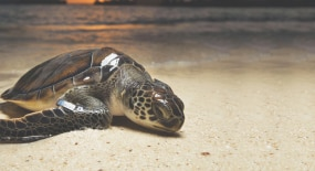 Conservación de tortugas marinas
